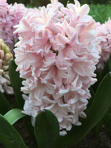 Hyacinthus Apricot Passion