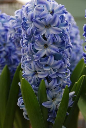Hyacinthus Aqua