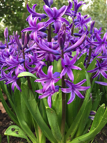 Hyacinthus Orientalis Blue (multiflora)