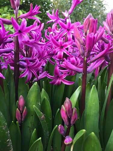 Hyacinthus Orientalis  Purple (multiflora)