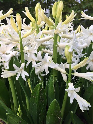 Hyacinthus Orientalis White (multiflora )