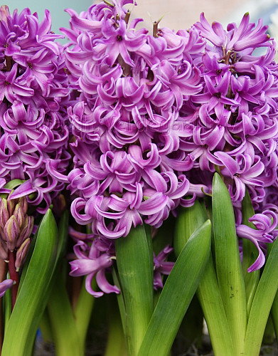 Hyacinthus Purple Sensation
