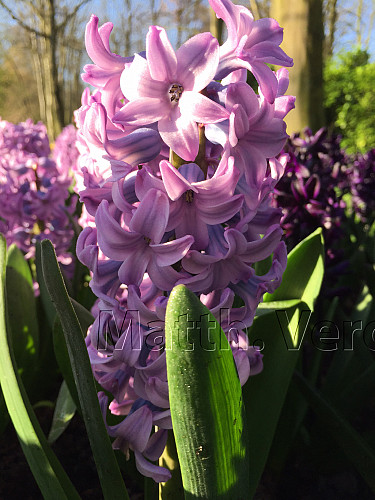 Hyacinthus Purple Voice