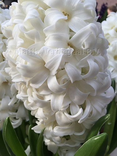 Hyacinthus Top White
