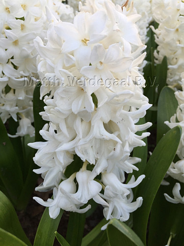 Hyacinthus White King