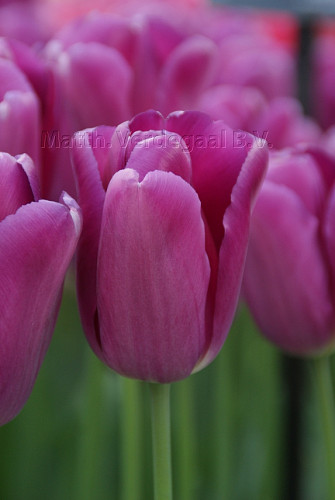 Tulipa Baracuda (r)