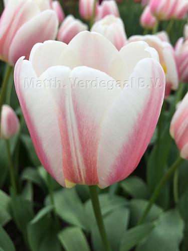 Tulipa Beau Monde