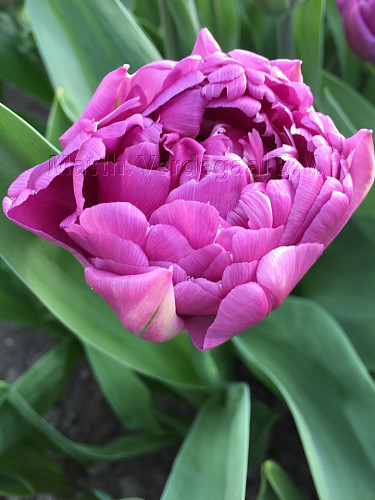 Tulipa Double Flag