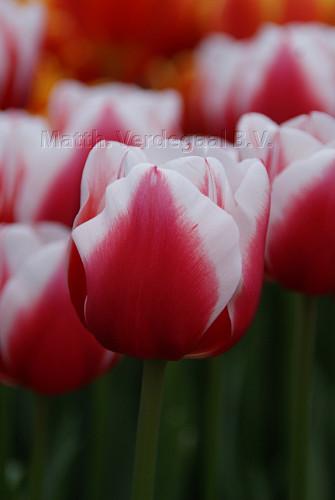 Tulipa Dutch Design
