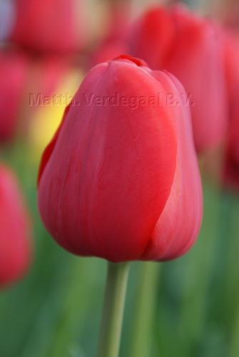 Tulipa Invader