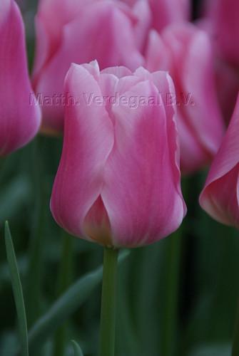 Tulipa Matchmaker