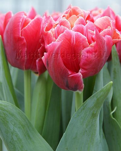 Tulipa Podium