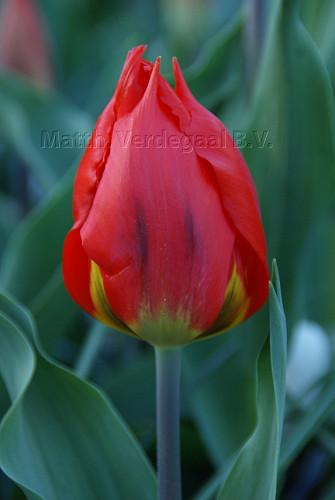Tulipa Red Flair