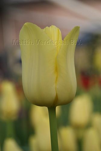 Tulipa World Friendship