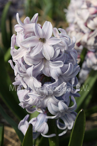 Hyacinthus City Of Bradford