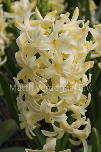Hyacinthus City Of Haarlem
