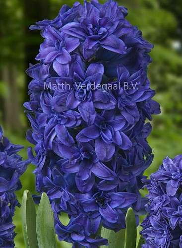 Hyacinthus Manhattan