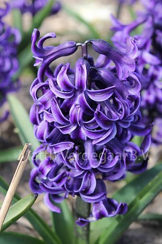 Hyacinthus Rembrandt