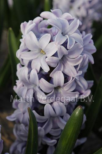 Hyacinthus Silverstone