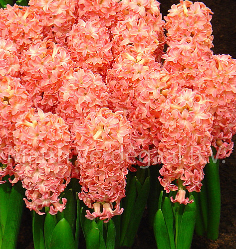 Hyacinthus Sweet Invitation