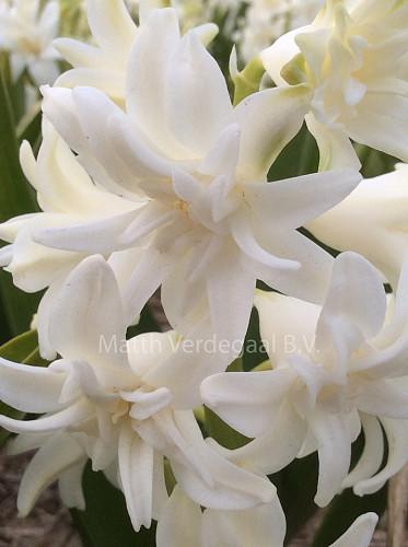 Hyacinthus Snow Crystal