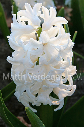 Hyacinthus Fairly (Fairy White)
