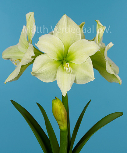 Amaryllis Moonlight