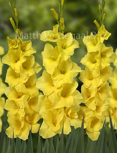 Gladiolus Mozart