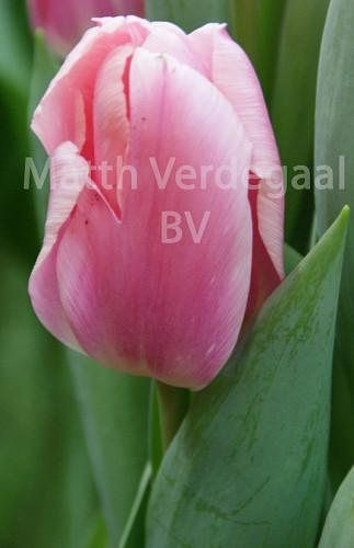Tulipa Algarve