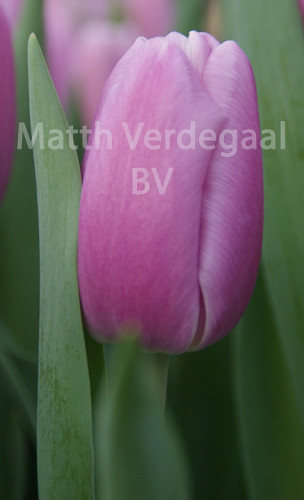Tulipa Argos