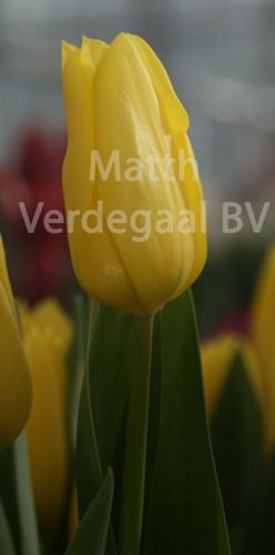 Tulipa Bolroyal Honey