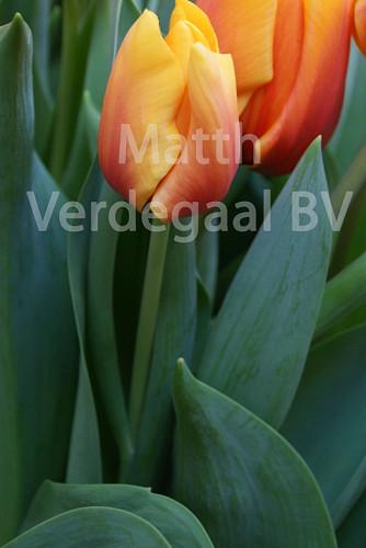 Tulipa Cash