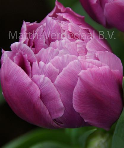 Tulipa Double Prince