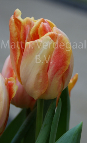 Tulipa Foxy Foxtrot