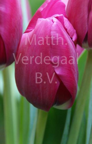 Tulipa Huntsville