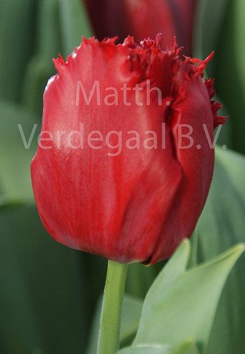 Tulipa Indiana