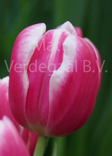 Tulipa Mark Design