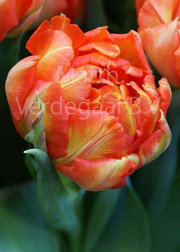 Tulipa Monte Orange