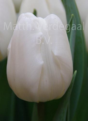 Tulipa Pim Fortuyn