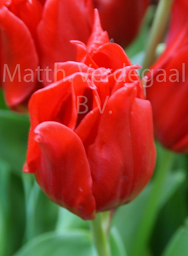 Tulipa Pretty Woman