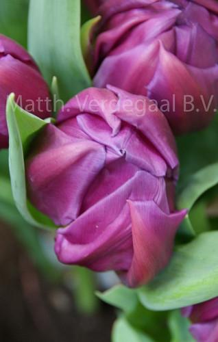 Tulipa Respectable