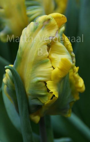 Tulipa Sunny Parrot