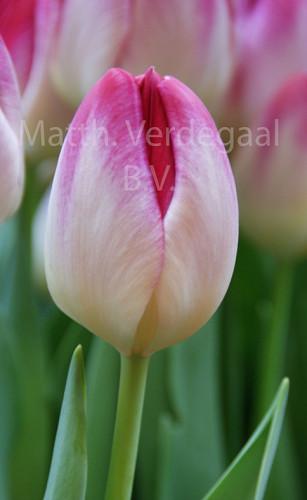 Tulipa Super Erotic