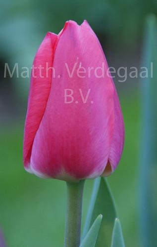 Tulipa Cherry Delight