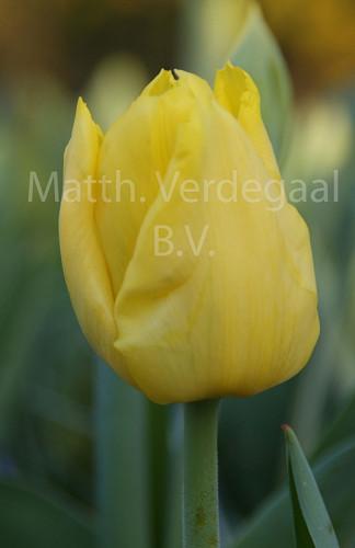 Tulipa Kikomachi