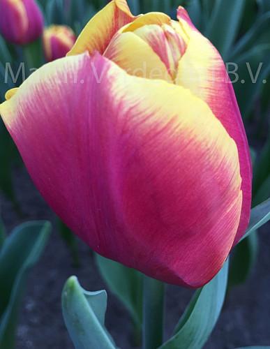 Tulipa Malmo
