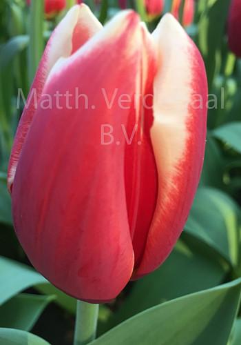 Tulipa Lennox