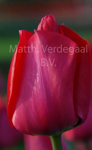 Tulipa Spring Tide