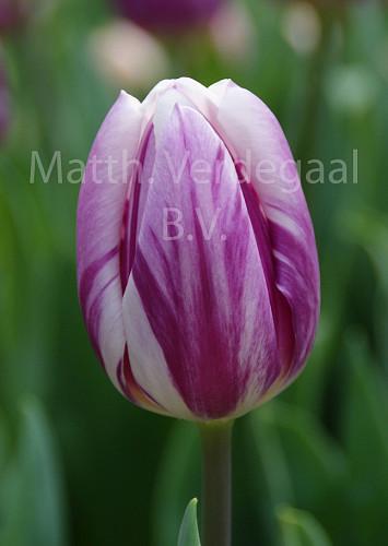 Tulipa Striped Flag