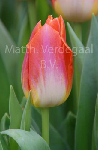 Tulipa Sunrise Dynasty